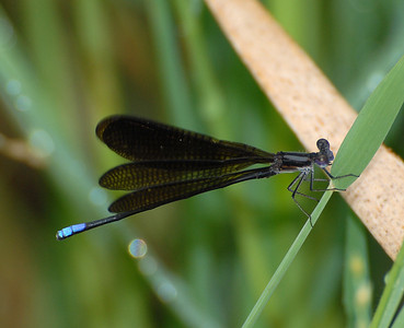 Argia fumipennis atra (Variable Dancer_Black Dancer)
