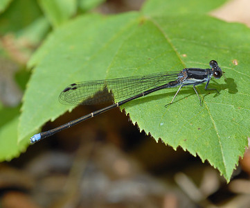 Argia tibialis (Blue-tipped Dancer), GA