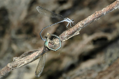 Argia moesta (Powdered Dancer), GA