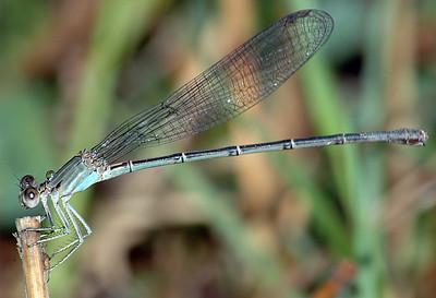 Argia apicalis (Blue-fronted Dancer), GA