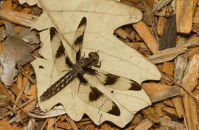 Common whitetail, Plathemis lydia (female) in my backyard in Iowa.