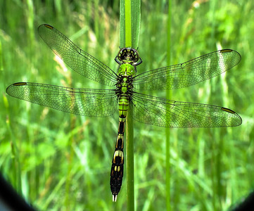 Eastern (Common) Pondhawk Dragonfly (female)