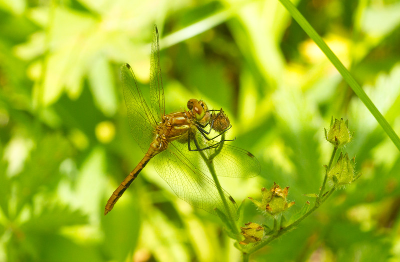 Meadowhawk dragonfly (Libellulidae: Sympetrum sp.) from Grand Teton National Park in Wyoming.