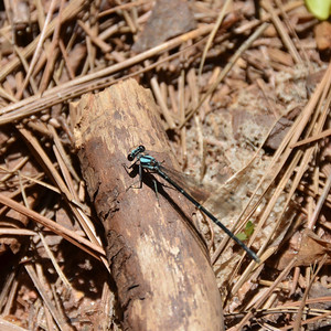 enallagma traviatum - Slender Bluet