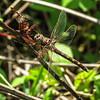 Stream Cruiser Dragonfly (female)