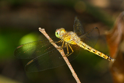 Skimmer dragonfly (Libellulidae: Neurothemis fluctuans), female, from Chiang Mai, Thailand.