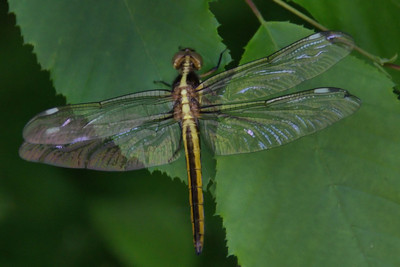 Libellula cyanea - Spangled Skimmer - Adult Female
