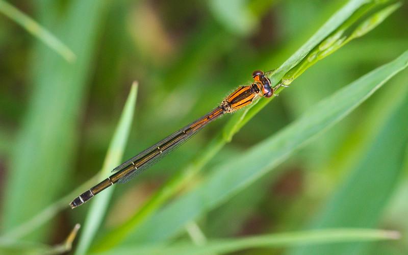 Forktail Damselfly (Coenagrionidae: genus Ischnura) from Iowa.