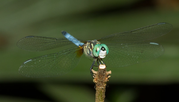 Blue dasher, Pachydiplax longipennis, from the Timucuan Preserve in Jacksonville, Florida.
