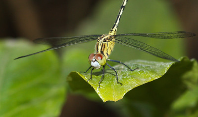 Dragonfly from Chiang Mai, Thailand.