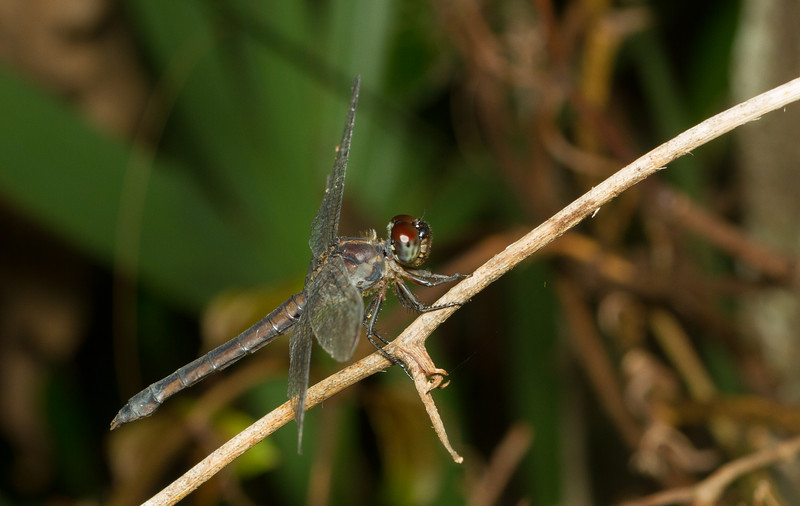 Dragonfly from the Timucuan Preserve in Florida.
