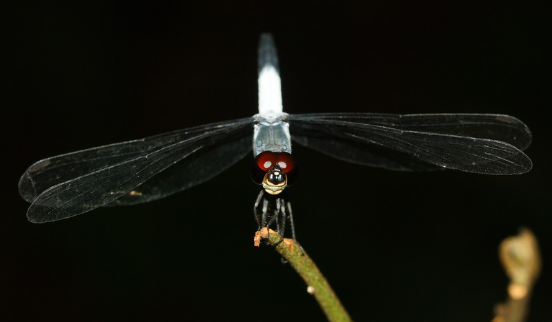 Skimmer dragonfly (Libellulidae: genus Aethriamanta, male) from Koh Chang Island, Thailand.