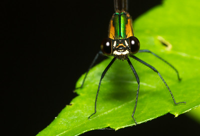 Damselfly portrait from Panama.