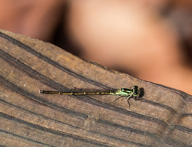 Fragile Forktail Damselfly (male)
