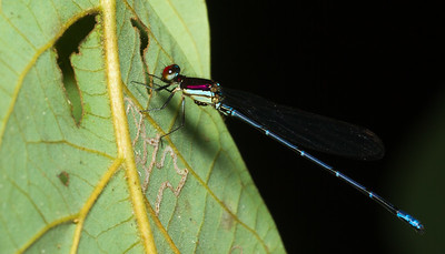 Damselfly (Argia sp., possibly A. cupreaurea) from Panama.
