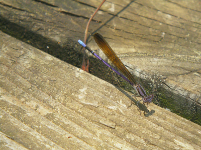 Argia fumipennis - Variable Dancer