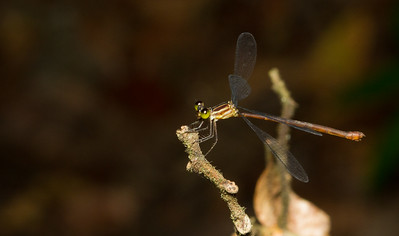 Spread-winged damselfly (Lestidae) from Panama.