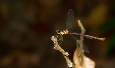 Spread-winged damselfly (Lestidae) from Panama.