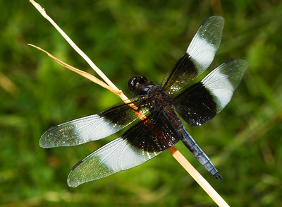 Widow Skimmer (Libellula luctuosa), male. (Iowa, USA)