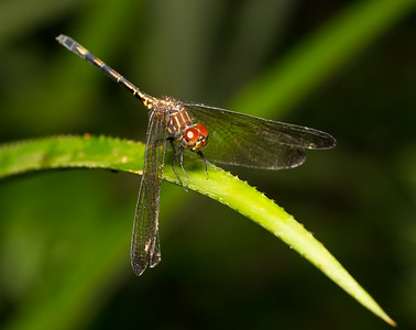 Brown Setwing, Dythemis sterilis, from Belize.