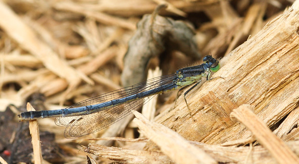 Eastern Forktail damselfly, Ischnura verticalis (female), from Iowa.