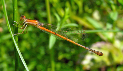 Citrine Forktail Damselfly (female)