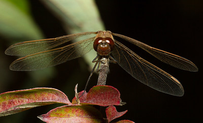 Skimmer dragonfly, family Libellulidae (Iowa, USA).