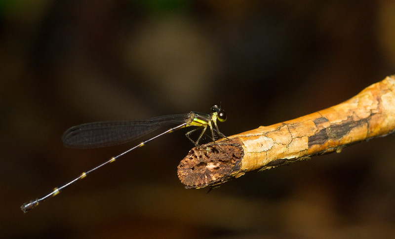 Damselfly from Panama.