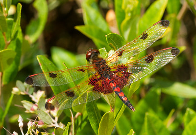 Calico Pennant, Celithemis elisa (male), found around the edge of Little Bass Lake in northern Wisconsin.