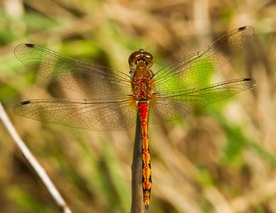 Meadowhawk dragonfly (male), genus Sympetrum. (Wisconsin, USA).