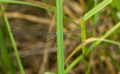 Spreadwing damselfly - Lestidae: genus Lestes (possibly L. inaequalis, Elegant Spreadwing) from Wisconsin.