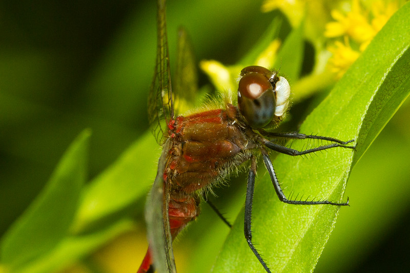Close-up of a Meadowhawk dragonfly, genus Sympetrum, from Iowa, USA.