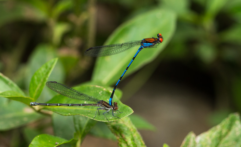 Courting pair of Fiery-eyed Dancer damselflies, Argia oenea, from Belize. The male on top will remain in this position for some time before copulation. If he is deemed suitable by the female, she will reach back with her abdomen and accept his sperm.