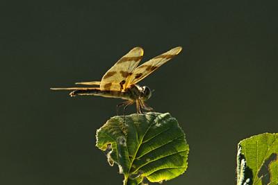 Celithemis eponina - Halloween Pennant