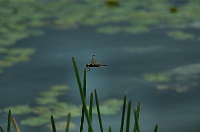 Celithemis elisa - Calico Pennant Dragonfly