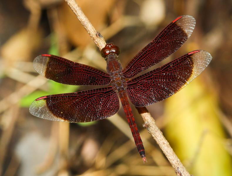 Skimmer dragonfly (Libellulidae: genus Neurothemis) from Koh Chang Island, Thailand.