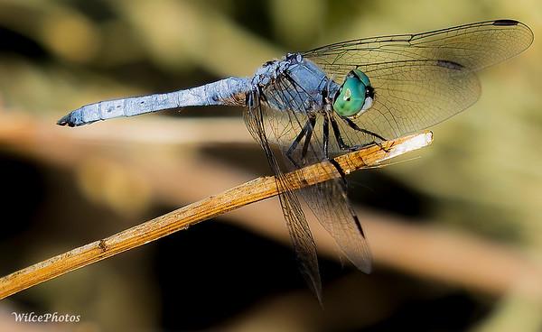 BlueDasher(Photo #P9194552)
