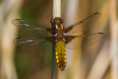 Broad-bodied Chaser - Blå Libel