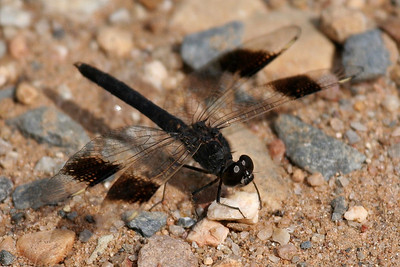 Banded Groundling (Brachythemis leucosticta), Extremadura