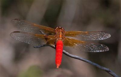 Neon Skimmer Dragonfly