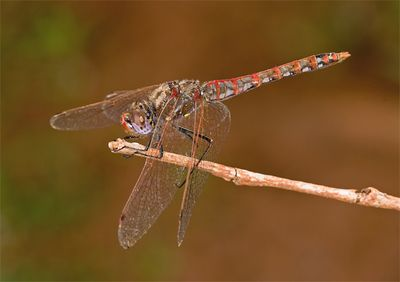 Male Variegated Meadowhawk