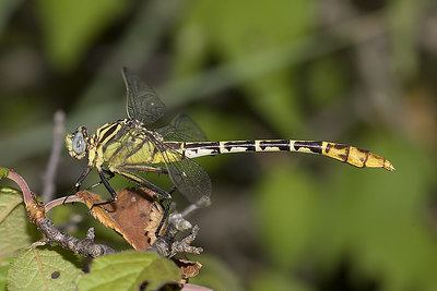 Flag-tailed spineyleg