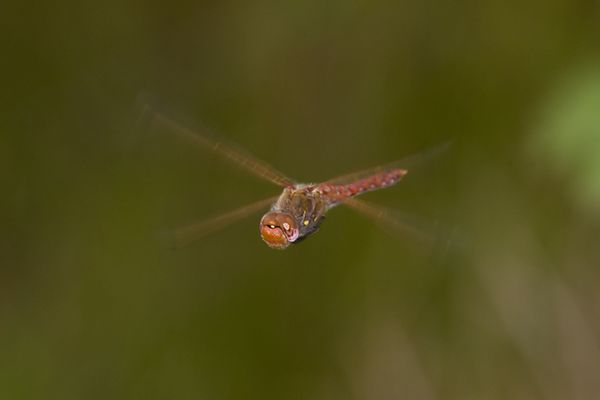 Male Variegated Meadowhawk