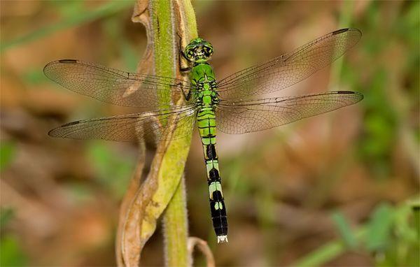 Female Eastern Meadowhawk Dragonfly