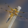 Four-spotted Chaser - Fireplettet Libel