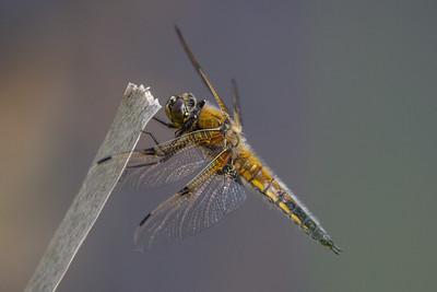 Four-spotted Chaser ~ Fireplettet Libel