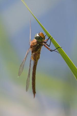 Green-eyed Hawker ~ Kileplet-mosaikguldsmed