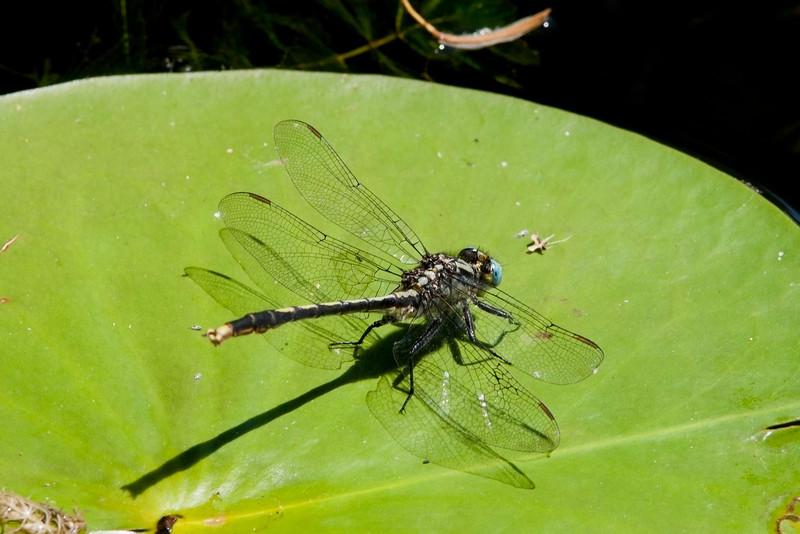Lilypad clubtail