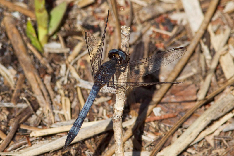 Little blue dragonlet - Patsy's Pond, NC