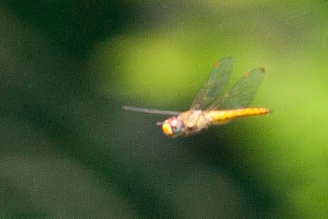 Wandreing glider in flight